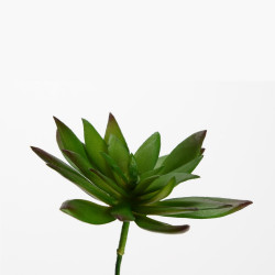 Echeveria Setosa 10 cm...